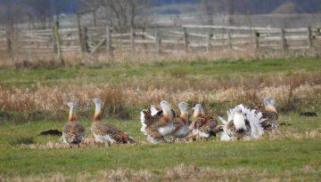 Großtrappen: Hahnengruppe zu Beginn der Balzzeit