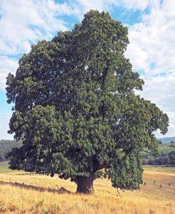 Esskastanie, Baum des Jahres