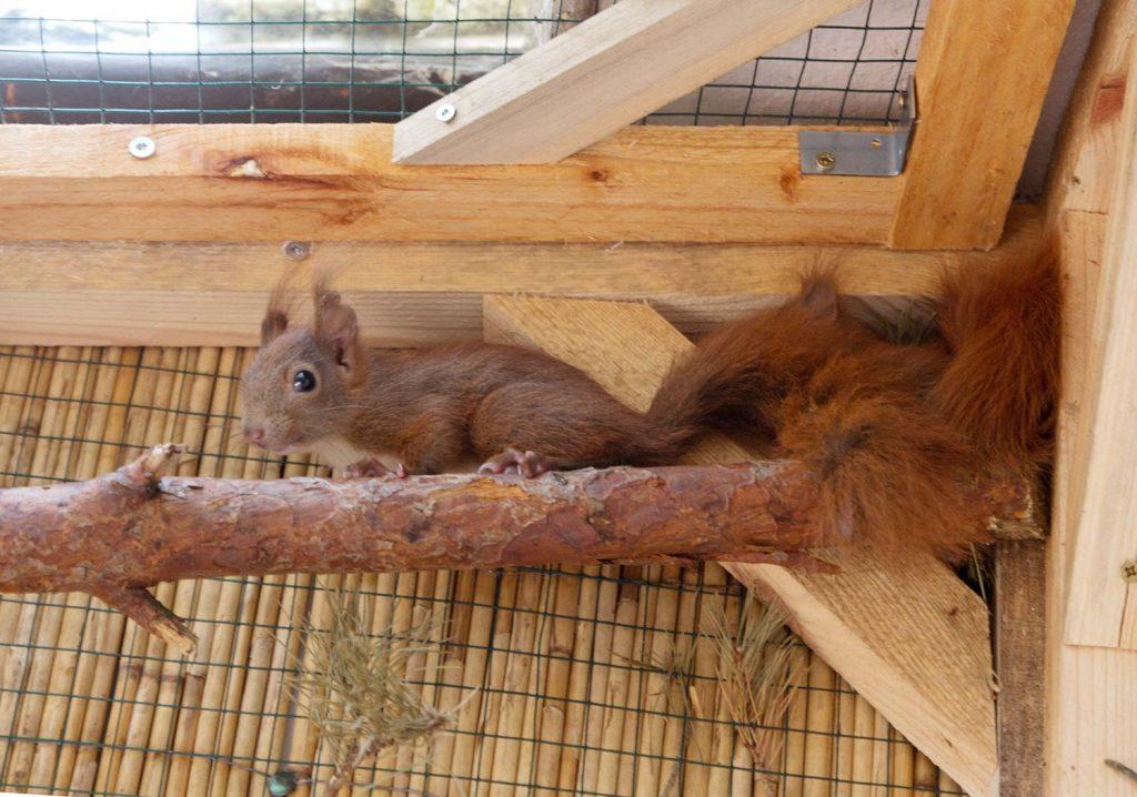 Eichhörnchen, Auswilderung, Borkwalde