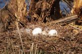 Gelege, Eier, Graugans