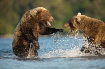 Kamtschatka Baeren Kampf