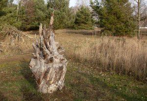 Wurzel eines Apfelbaumes, Schenkenberg