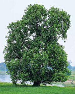Flatter-Ulme, Baum des Jahres 2019