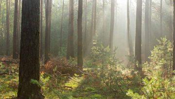 Sonniger Kiefernwald