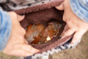 Eichhörnchen, Eichhörnchenbabys