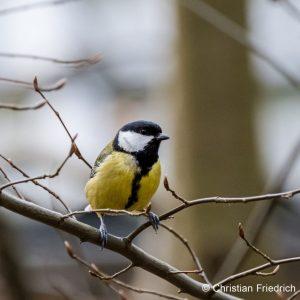 Wintervogel Meise