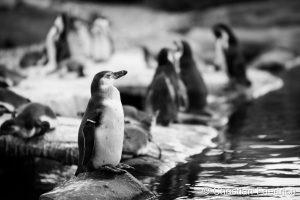 Pinguine von Christian Friedrich