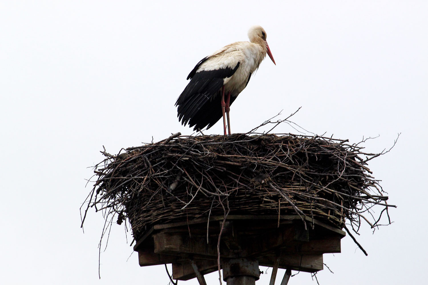 Storch, Cammer