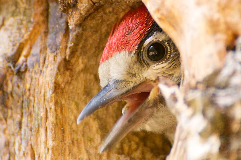 Buntspecht, Jungvogel mit rotem Scheitel