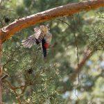 Fliegender Buntspecht