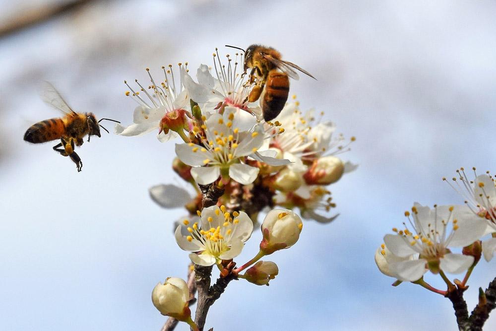 Bienen im Anflug (c) Jürgen Schaldach