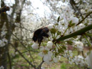 Biene in den Kirschblüten (c) Eca Loth