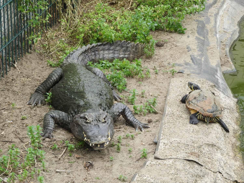 Krokodilstation, Golzow